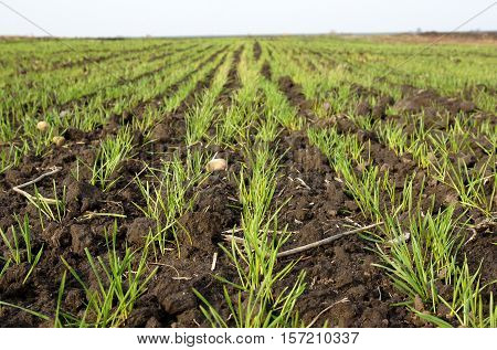 Young sprouts of winter wheat field in November. Photo with shallow depth of field
