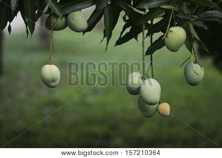 Clusters of mangoes ripening on a tree