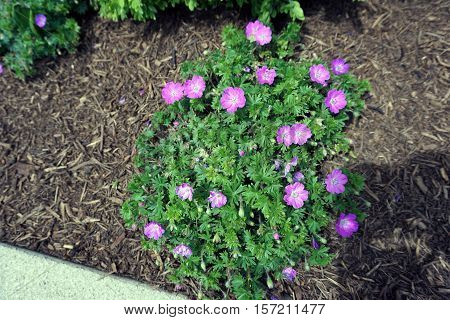 Hardy pink geranium flowers (Geranium sanguineum) bloom in a garden in Joliet, Illinois during May.