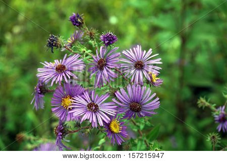New England asters (Symphyotrichum novae-angliae), also called the Michaelmas daisy, blooming in Joliet, Illinois during October.