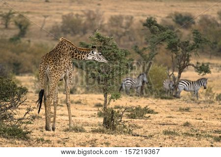 Masai Giraffe (Giraffa camelopardalis tippelskirchi) photograhed at Masai Mara Natinal Reserve Kenya