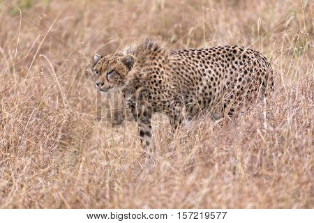 Adult cheetah ready to attack Masai Mara National Reserve Kenya East Africa