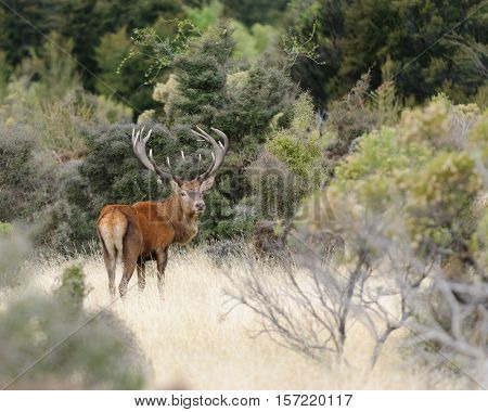 Male (Stag) Red Deer walking through typical range in New Zealand