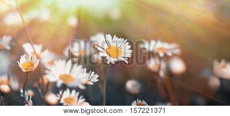 Daisy flower in meadow - beautiful daisy flowers lit by sun rays