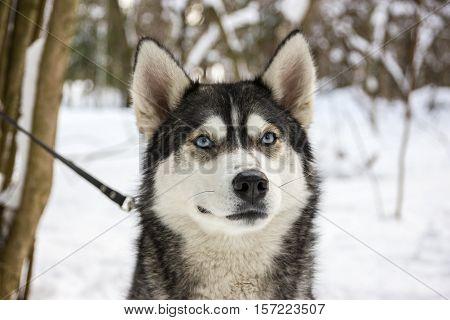 Husky Breed Dog Portrait In Winter
