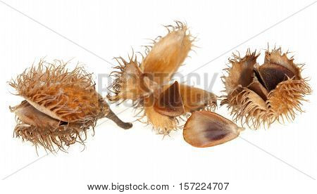 spilled seed with beech fruit on white background