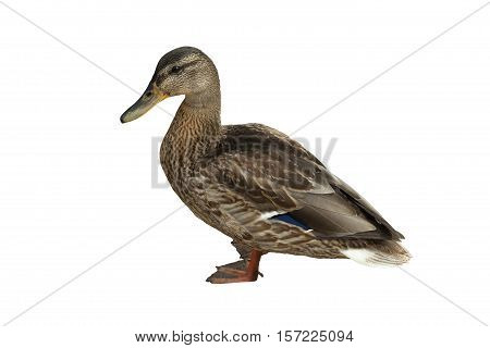wild duck (Anas platyrhynchos) on white background