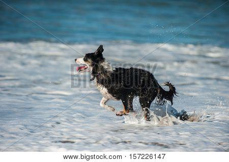 Close view of energetic black and white Australian Shepard dog splashing through the beach surf.