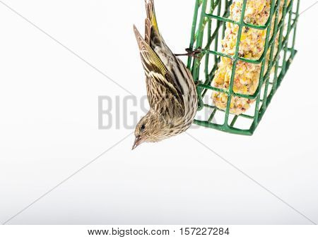 Pine Siskin finch (Carduelis pinus) - in springtime, upside down on a suet feeder.   Aerobatic and territorial displays at a feeder in a northern Ontario woods.