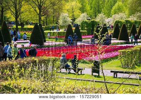 Lisse, Netherlands - May 7, 2016: Flower bed of colourful tulips in spring. Colorful tulips in the Keukenhof garden, Holland, Netherlands. Fresh blooming tulips in the spring garden.