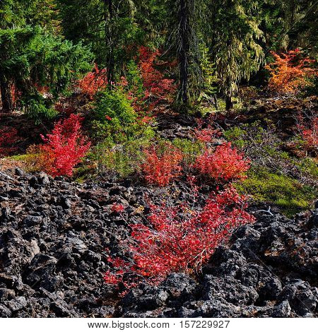 Brightly colored bushes mixed in with lava rock in Oregon's Cascade Mountains on a fall day.