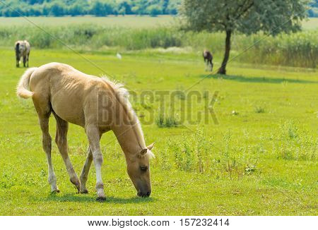 Tawny Young Horse Grazing on The Meadow