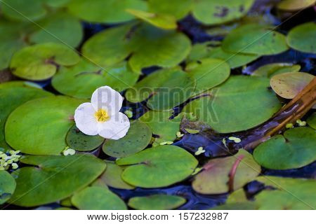 A Tiny White Flower on Water Surface with Green Leaves. Hydrocharis Morsus Ranae