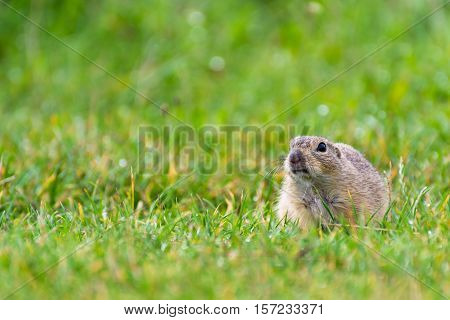 Stubborn Ground Squirrel on a Short Grassy Field