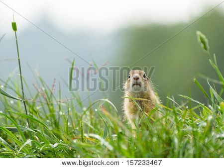Curious Ground Squirrel Standing in The Dewy Grass