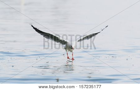 Seagull Touching The Surface of The Water. Seagull Landing on Water.