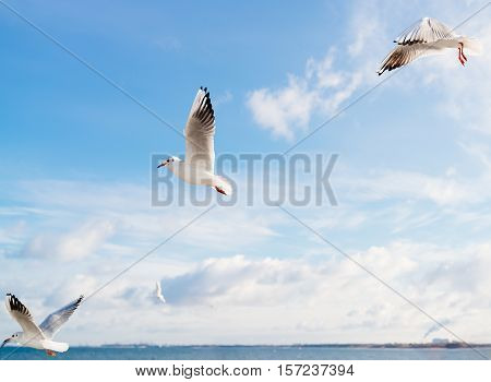 Seagulls Flying Over Baltic Sea