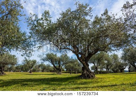 Olive tree plantation for the production of olive oil.