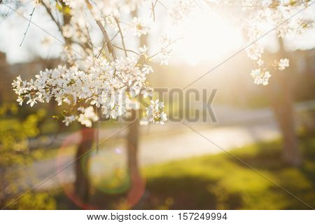 Blossoming cherry on sunset background. Spring mood.