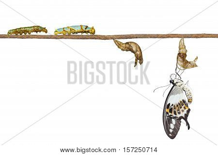 Isolated Transformation Of Banded Swallowtail Butterfly (papilio Demolion)