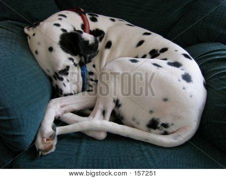 Dalmatian On Sofa