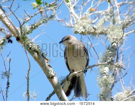 Mocking Bird on a limb with a pretty blue sky background. poster