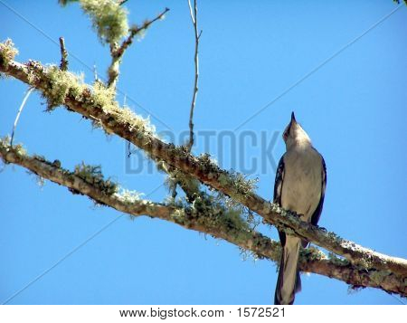 Mocking Bird against blue sky perched in a tree. poster