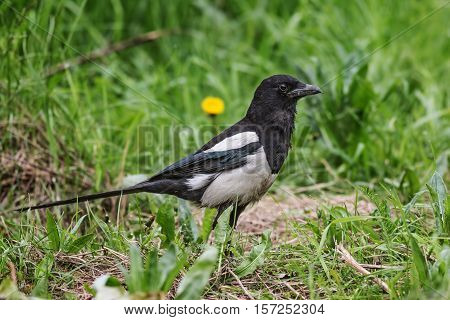 Magpie sitting in the green grass .
