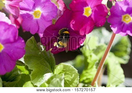 Close up of a Bumblebee sucking on a Primrose flower