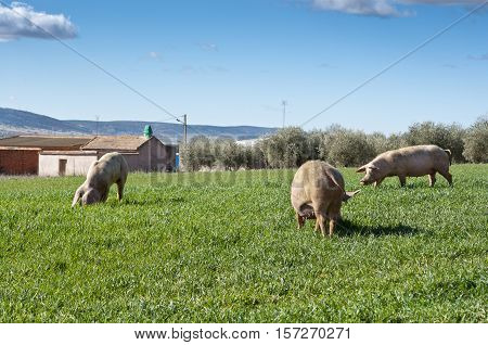 Three pigs grazing in field next to a small hamlet. Picture taken in Ciudad Real Province Spain