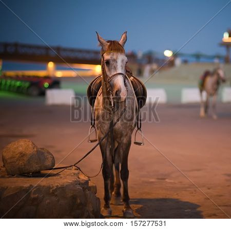 Horse on a leash. Night, Dahab, Egypt, Red Sea.