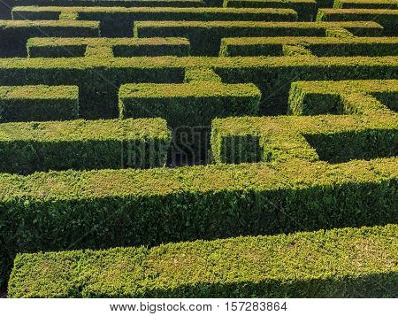 Hedge formed into traditional maze