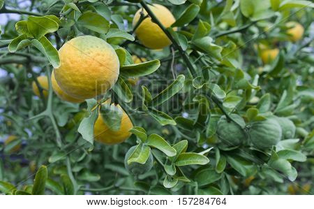 Citrus Trifoliata Fruit Tree. Poncirus Trifoliata. Chinese Bitter Orange. Japanese Bitter Orange. Hardy Orange. Trifoliate Orange. Citrus Tree