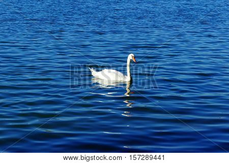 It is a sunny day and here is a swan swimming.