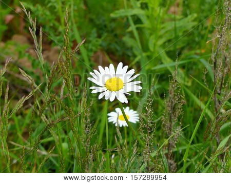 It is spring and the marguerites are blooming