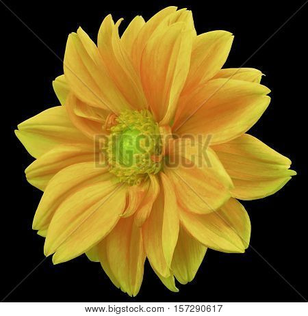 yellow-orange flower dahlia black isolated background with clipping path. Closeup. no shadows. yellow-green center. side view. for design.