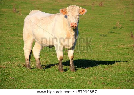 Curious white cow with brown muddy feet
