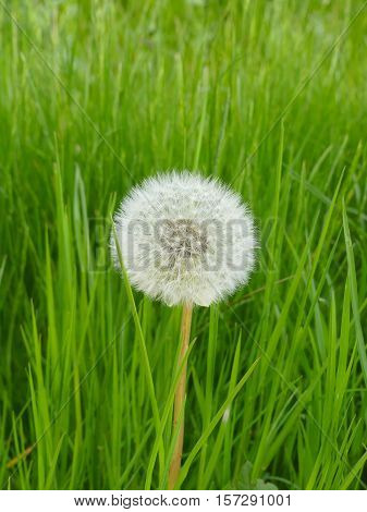 It is spring. The dandelion is ripe and looks fantastic.