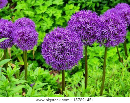 The lilac allium giganteum looks very pretty.