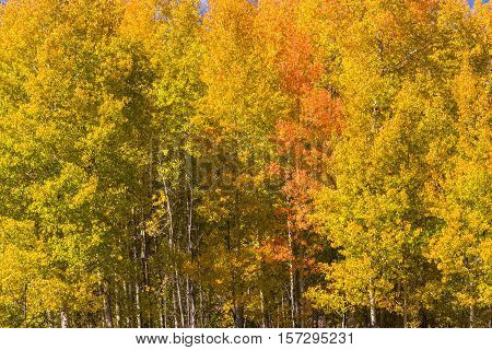 a scenic fall landscape of golden aspens in the Wyoming mountains