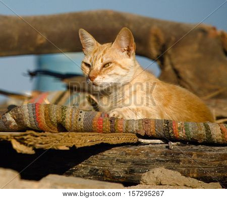 Cat resting on the roof of Bedouin homes. Dahab, Egypt, Red Sea.