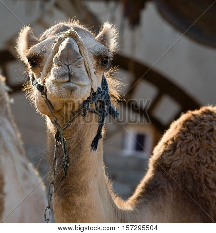 The head of a camel, photographed in the rays of the setting sun. Dahab, Egypt, Red Sea.