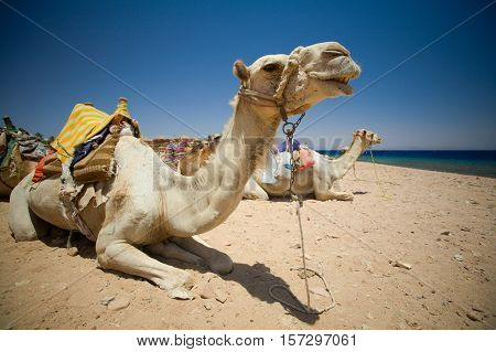 Camel resting. Dahab Blue Hole area, Egypt, the Red Sea.