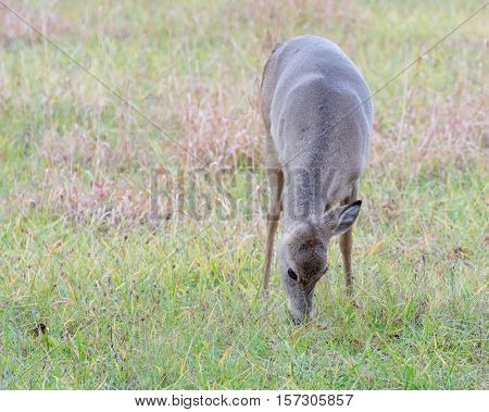 A one eared whitetail deer doe standing in a field.