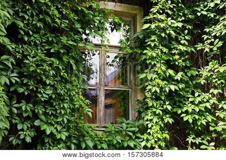 window of a house on the wall of overgrown plants