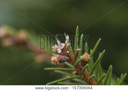 Pine resin transparent to cut green branches macro