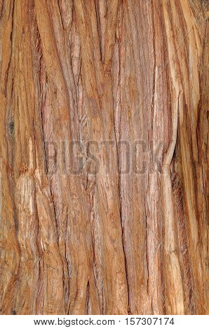 From pacific red cedar bark tree texture
