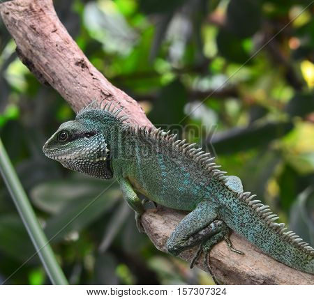 small iguana looking for food on branch