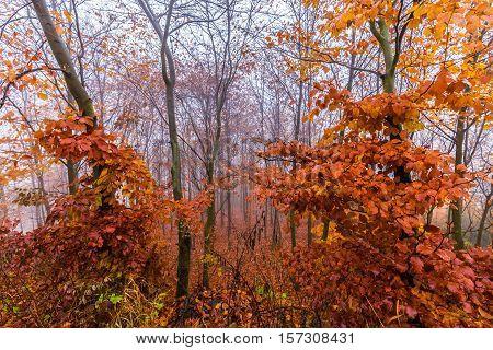 Colorful autumn leaves on tree and fog. Moravian landscape Ujezd u Boskovic.