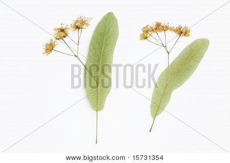 linden pressed flowers